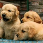 1301926617_184458325_1-Pictures-of-TEGHA-KENNEL-Golden-Retriever-Puppies-For-Sale-CALL-098910131311