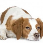 raza-de-perros-de-la-semana-epagneul-breton-e1314210009465