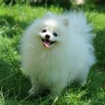 black-and-white-pomeranian-puppies-apomeranian-pictures-photos-pics-fwkqnasq