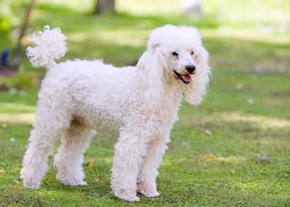 White poodle adult