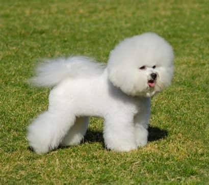 White dog Frise