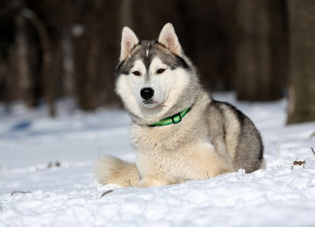 husky with name Athenea