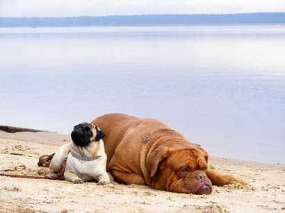 Big dog pug names
