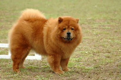 Chow Chow big dog