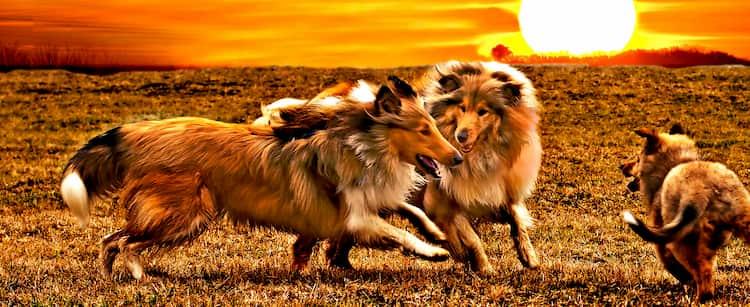 Korean dogs