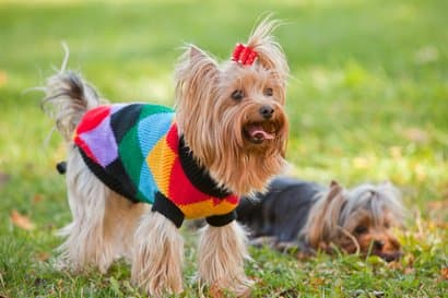 popular breed yorkshire terrier