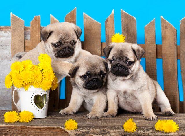 puppies of carlino
