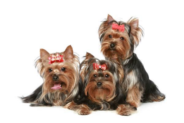 three yorkies dogs