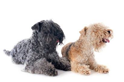 two kerry blue terrier