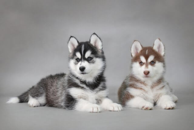 two puppies of husky breed