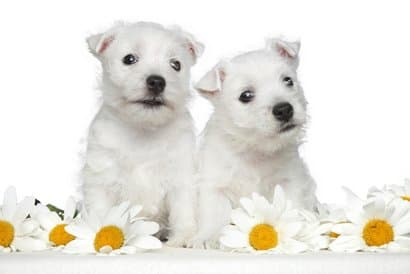 two-white-westy-puppies
