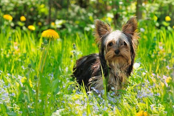 yorkie dog names