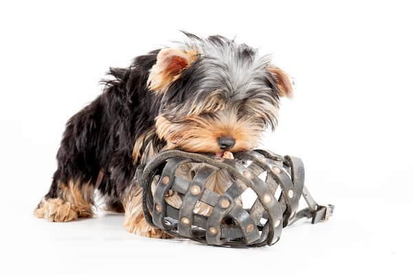 yorkshire boy puppy