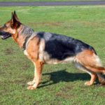 German shepherd dog names