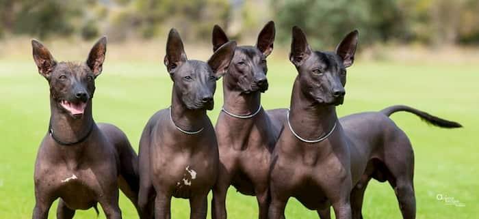 aztec dogs