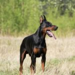 Doberman dog names