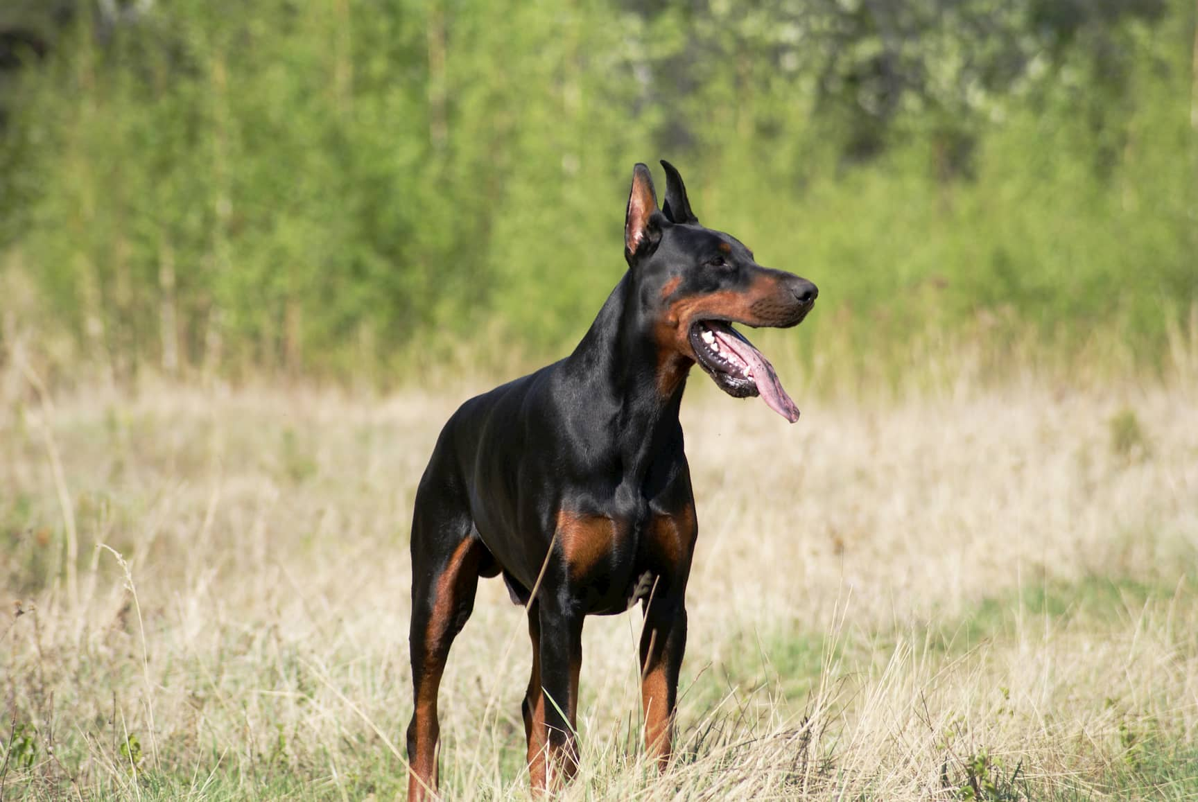 doberman male dog with 2 years
