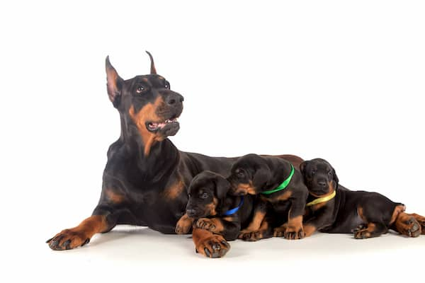 doberman mum and puppies