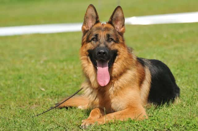 german male shepherd with tongue out
