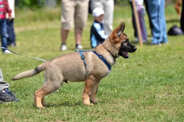 german shepherd puppy with 2 months