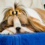 290+ Best Shih tzu dog names