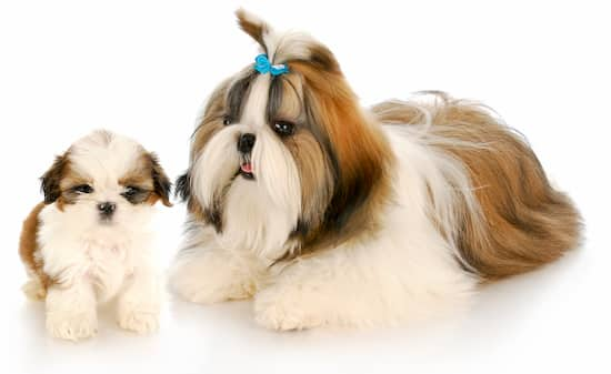 shih tzu adult with puppy