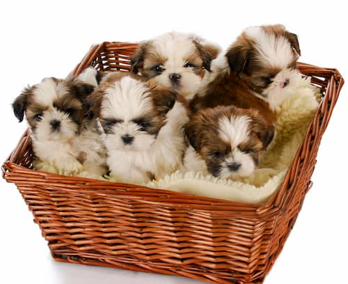 shih tzu puppies female and male