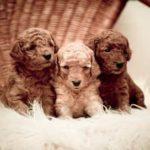 250+ Small dog names