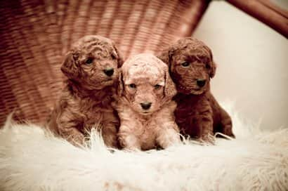 small poodle puppies