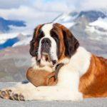 Saint Bernard dog names