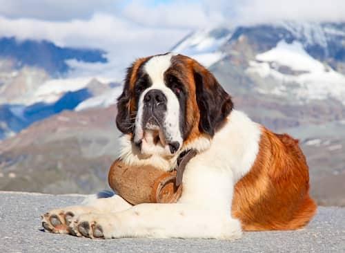 st bernard dog in the snow