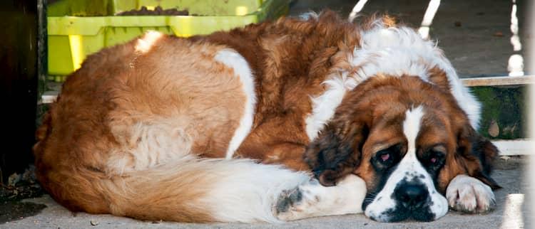 st bernard dog names
