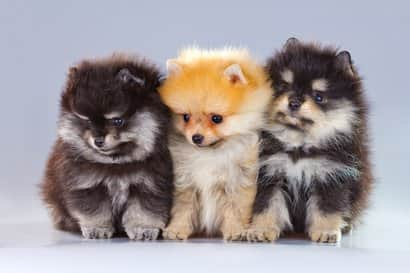 three pomerania puppies