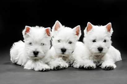 westy small dogs