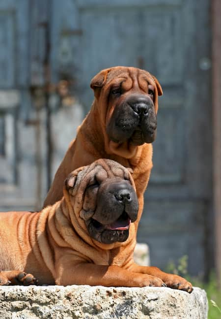 big shar pei dogs