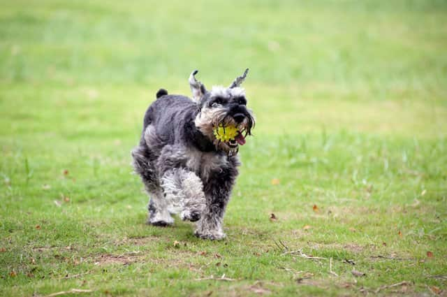 black and grey schnauzer male