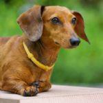 Dachshund dog names