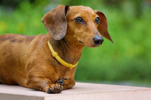 female Dachshund dog