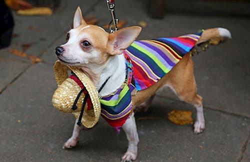 little dog mexican