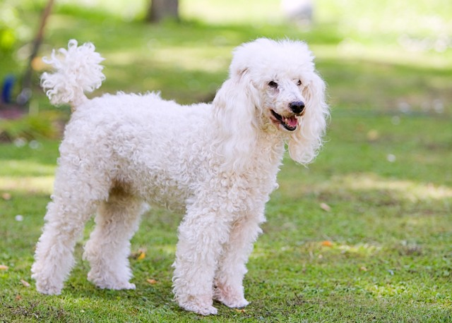 Poodle Standing in the Garden