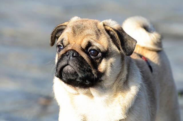 pug adult with 2 years