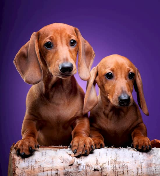 two female and male Dachshund