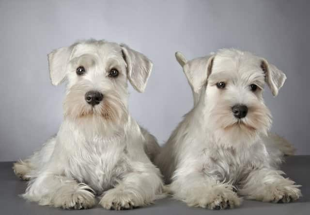 two schnauzer adult