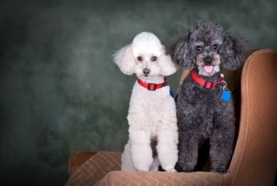 white female poodle and black male