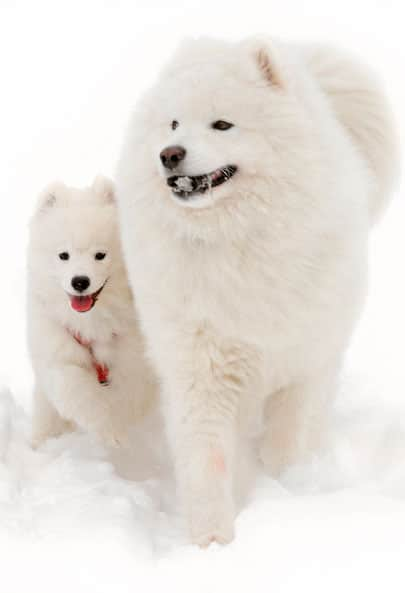 husky white nordic names