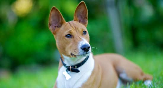medium african dog, brown and white