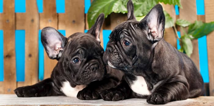 french bulldog male and female
