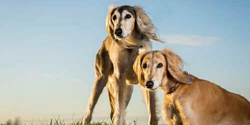saluki breed of egypt