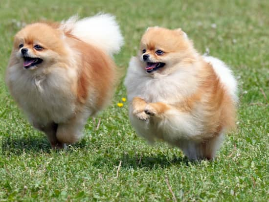 female and male pomeranian