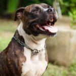 Pitbull dog names